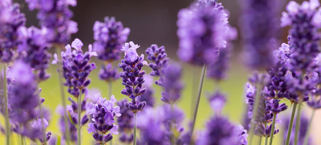 we see one of figures of life named lavender