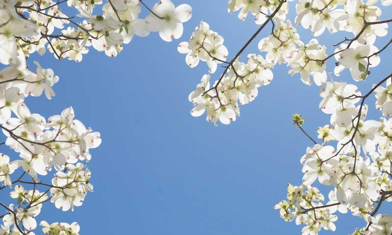 dogwood-flower-under-the-sky