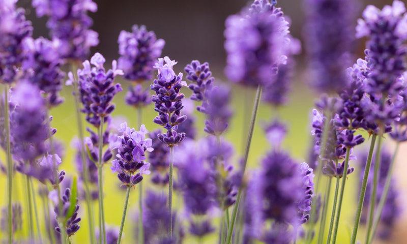 思い出の花 ラベンダー